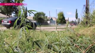 Конопля, марихуана и гашиш. Репортаж из Кыргызстана