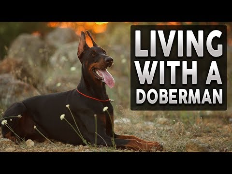 DOBERMAN! What It's Like To Live With A Doberman Pinscher? (feat Katy Bing)