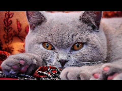 How to Care for a British Shorthair Cat - Administering Basic Care