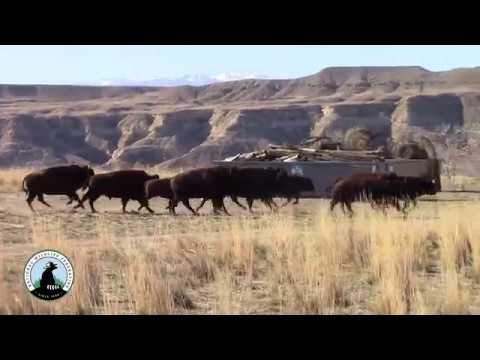 'Boy-Zhan Bi-Den' – Buffalo Return to Wind  River