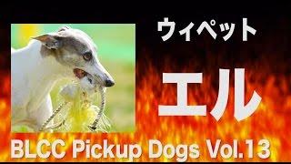 BLCC Pickup Dogs Vol.13 ウィペット エル BLCC HP http://blcc.simdi...