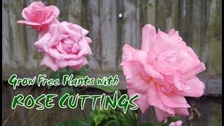 rose cutting