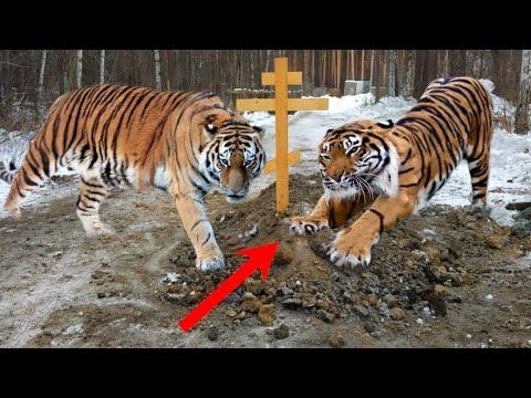 Два тигра раскапывали могилу, сдирая лапы в кровь. Они чувствовали, что хозяйка ещё жива...