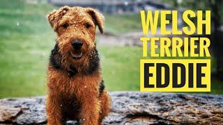 Welsh Terrier  January 14, 2021