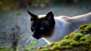 8 интересных фактов о сиамских кошках
