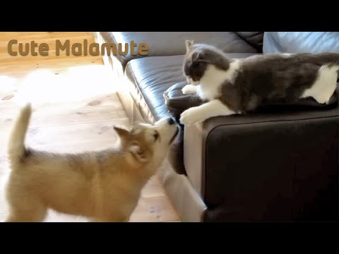 Alaskan Malamute puppy vs a big Norwegian Forest Cat kitten