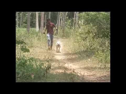 BEST POWERFUL AND FRIENDLY DOG BREED (AMSTAFF)