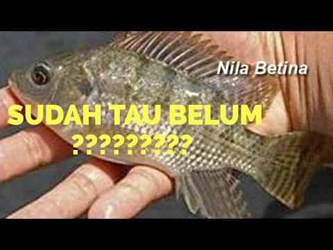 Begini Lho Cara Bedakan Ikan Nila Jantan Dan Ikan Nila Betina Untuk Di Pijahkan Youtube