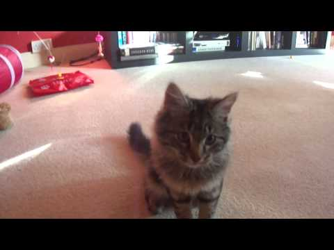 Funny Kitten Norwegian forest cat - 5mths old