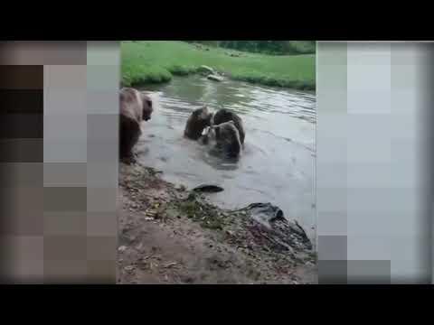 Медведи схватили волка.