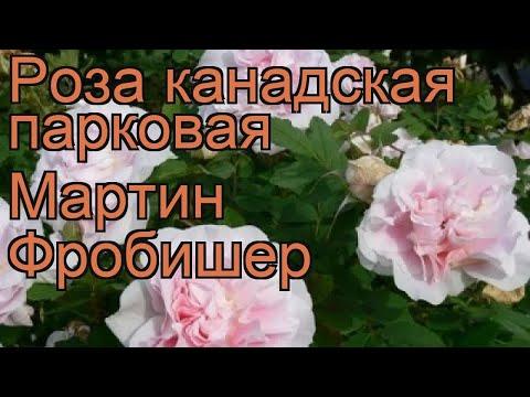 Роза канадская парковая Мартин Фробишер 🌿 обзор: как сажать, саженцы розы Мартин Фробишер