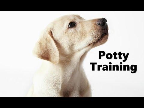 How To Potty Train A Labrador Puppy Labrador Retriever