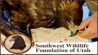 Eagle Hit By Car | Concussion & Neurological Issues