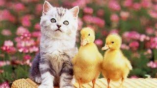 Маленькие котята, оказывается дружат с утятами!