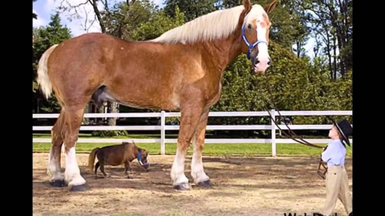 Самые большие лошади мира - YouTube