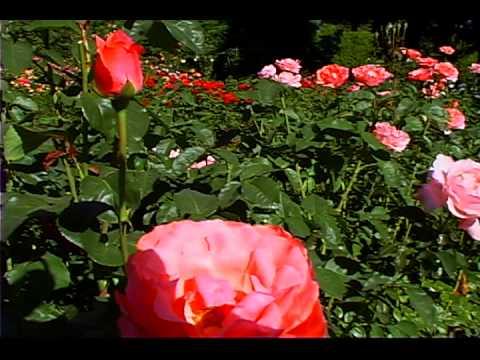 Washington Park Portland Oregon International Rose test garden - YouTube