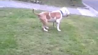 biggest pitbull head in the world 30