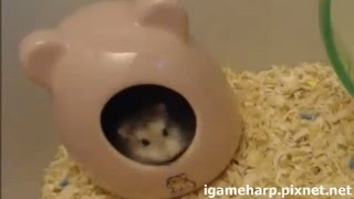 老公公鼠 第一次看見木屑 ((興奮 | Hamster Excited