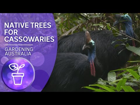 Growing native trees for cassowaries