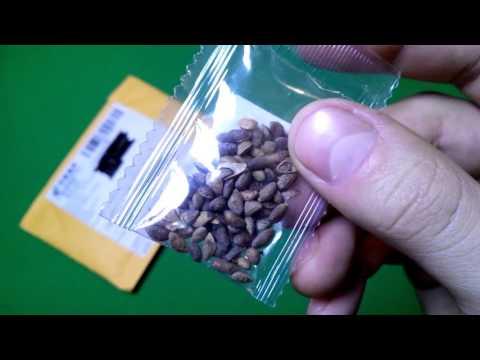 Семена Дерево бонсай японская сакура / сосновое дерево бонсай / Sakura