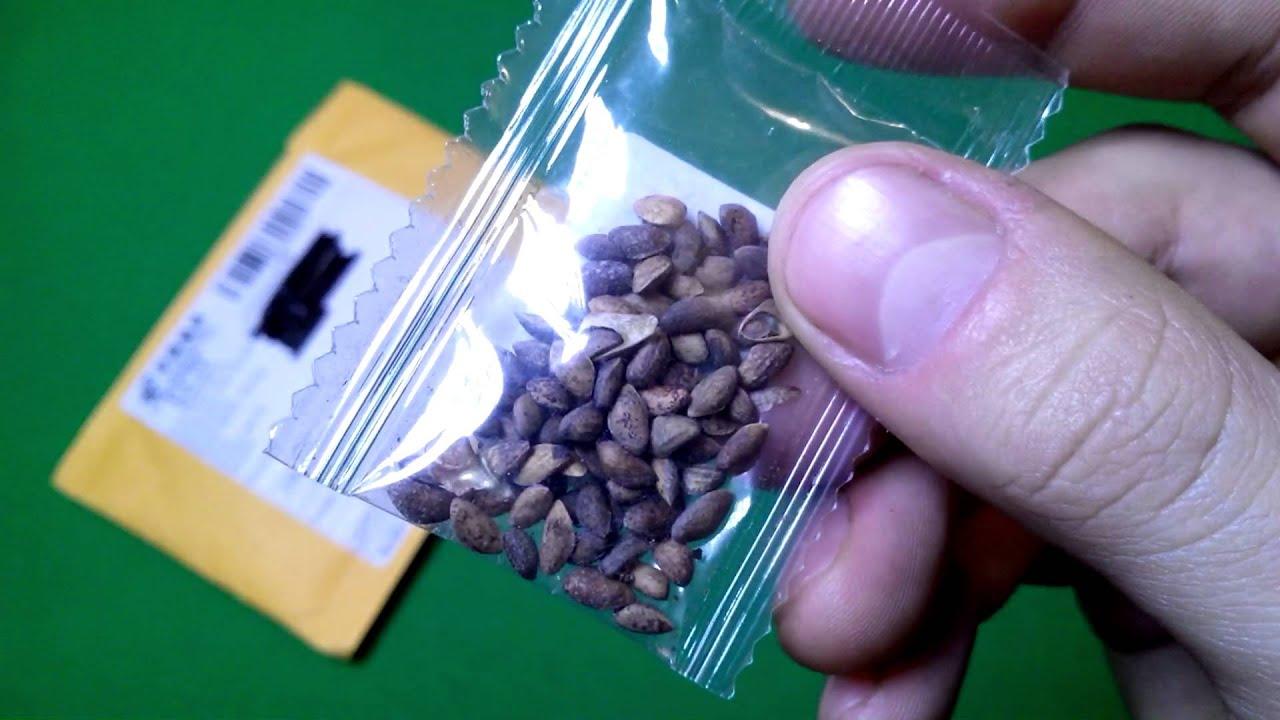 Бонсай японская сакура выращивание из семян 570