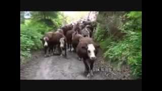 Vallée d'Abondance: Démontagnée de l'Essert