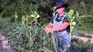 Pruning Okra