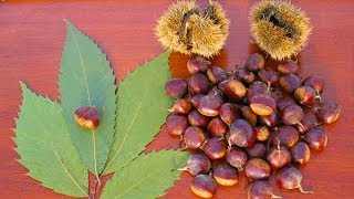 **How To Plant American Chestnut Trees Correctly**  ++ Castanea dentata ++