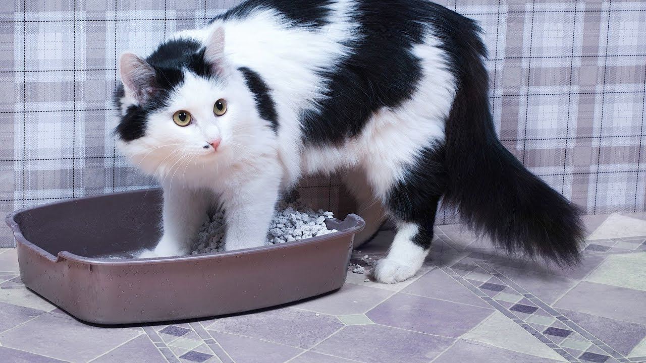 Why A Cat Stops Using Its Litter Box Cat Care Articles