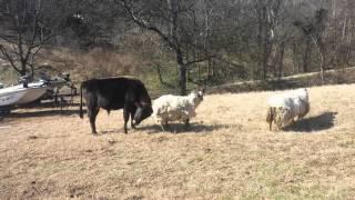 Bull fights ram