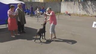 Ксолоитцкуинтли, видео с выставки собак в Великом Новгороде
