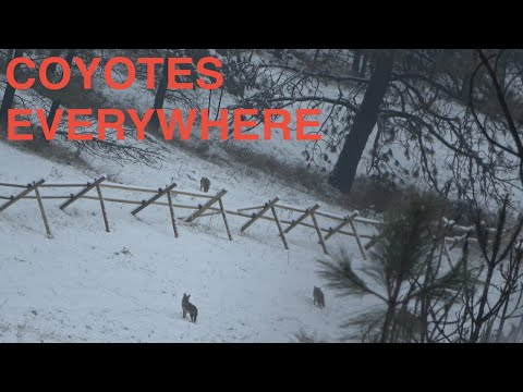 "Coyote Hunt 2019 ""Bait Station"" Mp3"