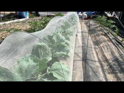 세계 3대장수식품 양배추, 친환경 양배추재배, 양배추효능, 위에좋은 양배추,