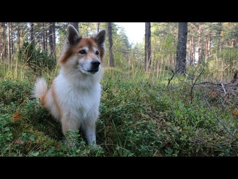 Dog Gets Lost in the Forest | Hötti the Icelandic Sheepdog