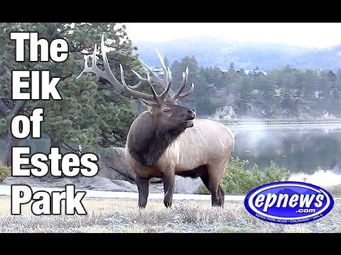 Elk of Estes 2016