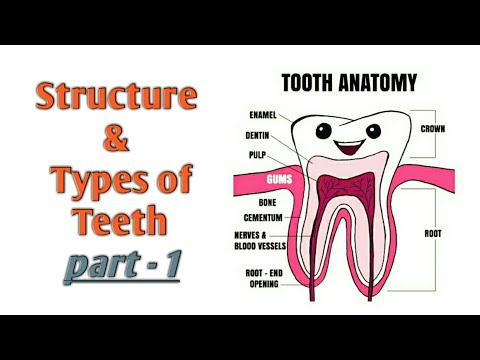 Teeth Structure And Types, Digestion And Absorption