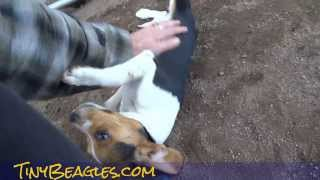 Cute Puppies Playing Learning To Be Dogs Miniature Pocket Beagle Video