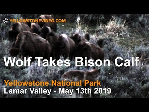Wolf Takes Bison Calf - Lamar Valley, Yellowstone National Park May 13, 2019