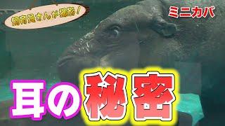 ミニカバ 水中で見せた意外な耳の動きがスゴすぎた!