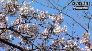 鎌倉・大船の玉縄桜や梅が見頃/植物園や貞宗寺/神奈川新聞(カナロコ)