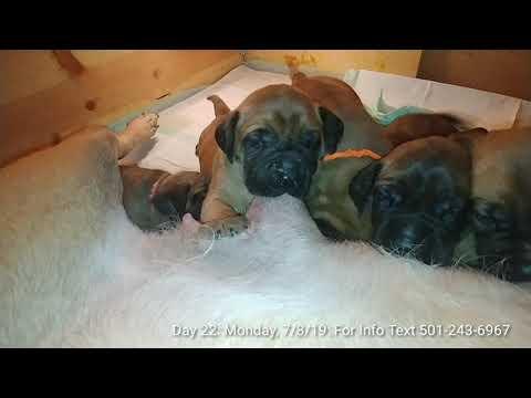 AKC English Mastiff Pups: Taking Deposits