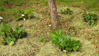 Клубника весной