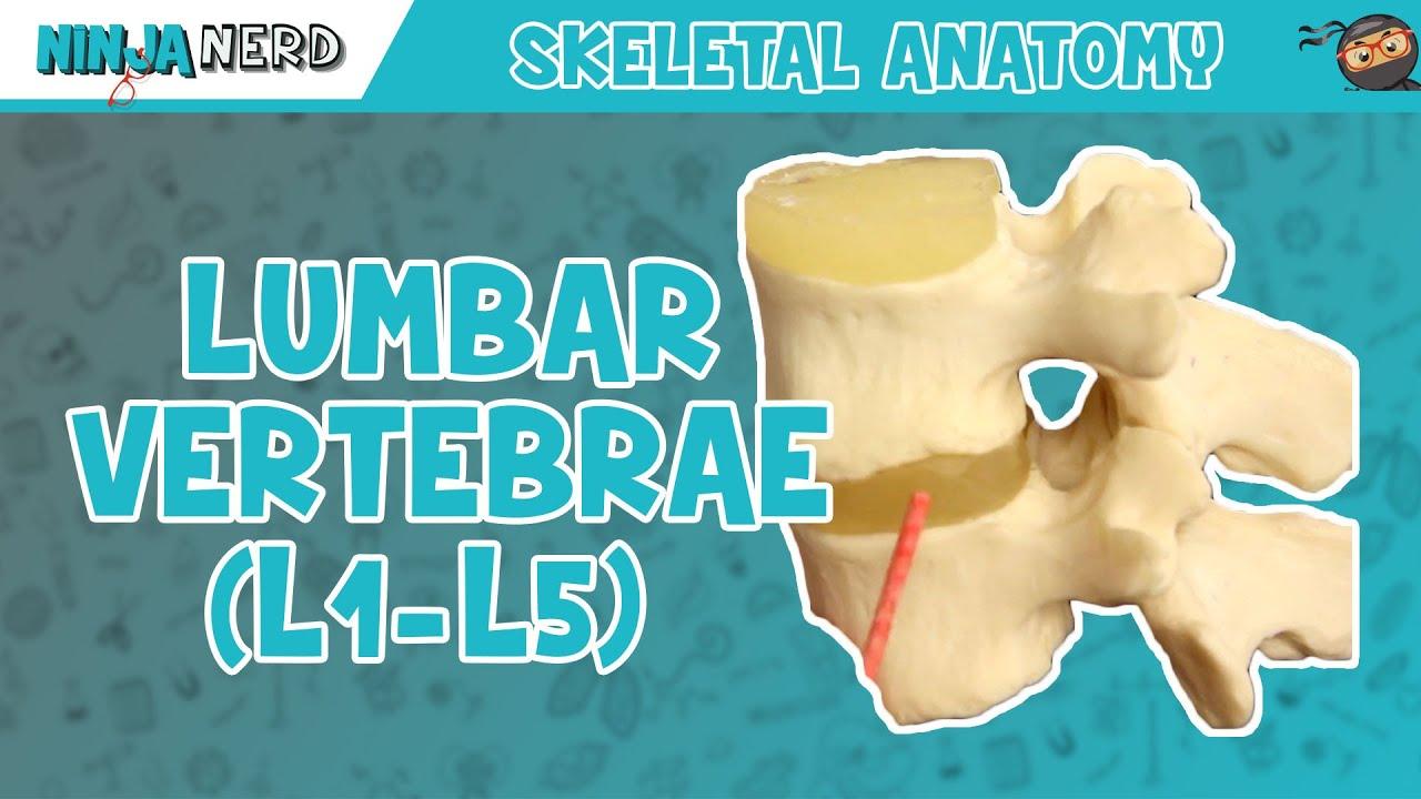 Lumbar Vertebrae (L1-L5) Anatomy - YouTube