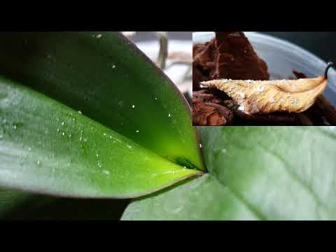 Download Orchidea gondozás | Beteg orchidea mentés - Gyapjas levéltetű