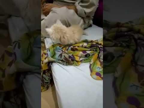 Funny Cat    Persian Kitten    Playingful Brown Cat