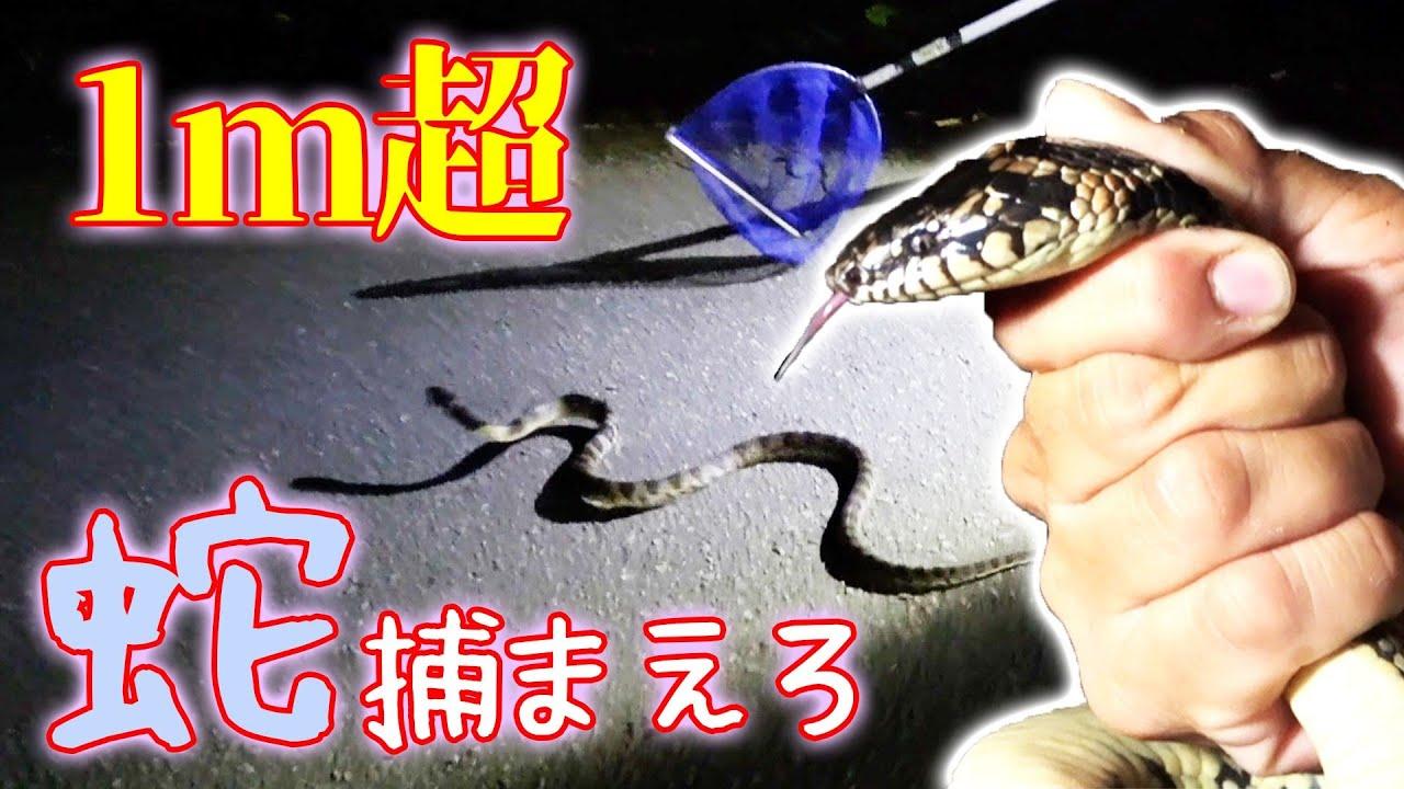 山道に突如出現した1m超えのヘビと対決!【大潮の日の北部遠征#2】