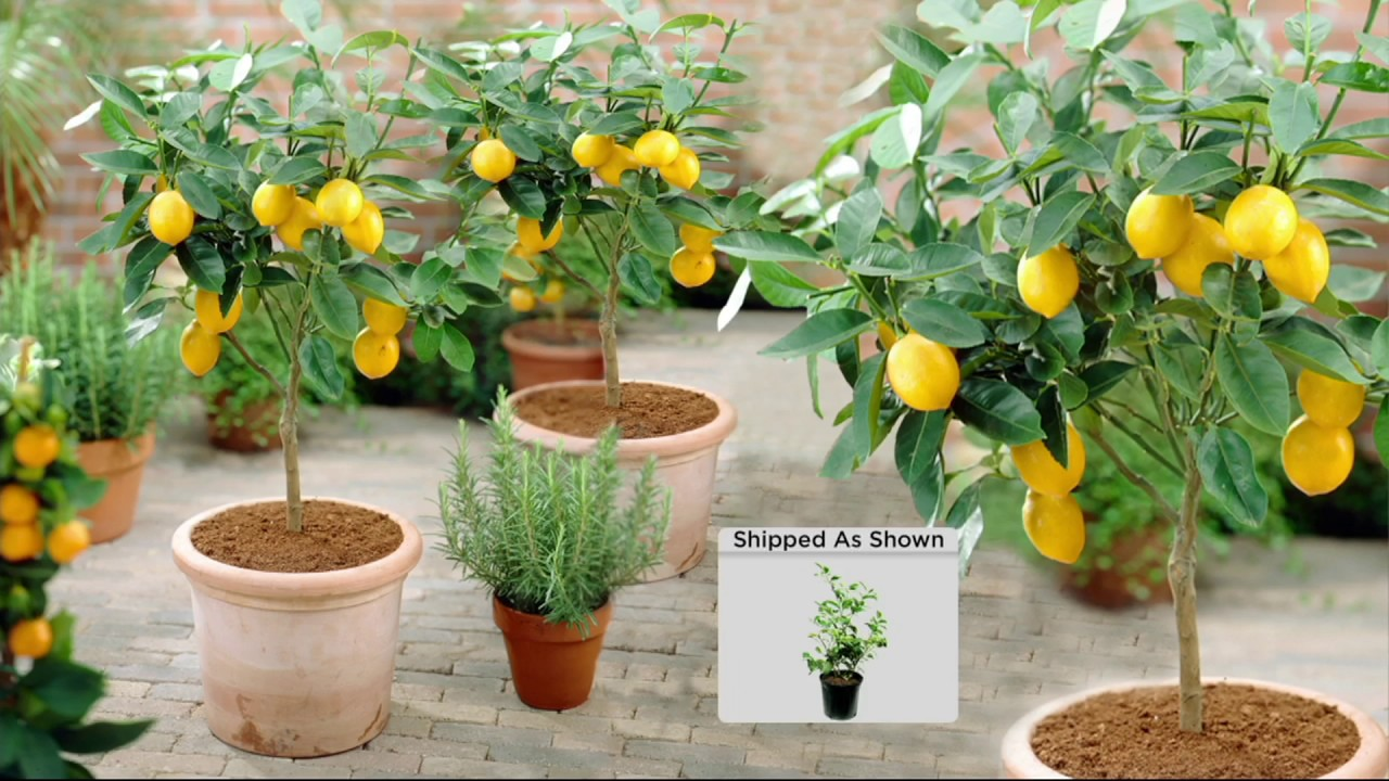 Roberta S Quick Fruiting Meyer Lemon Patio Tree On Qvc Youtube