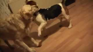 Frendly Battle - Beagle Vs Golden Retriever