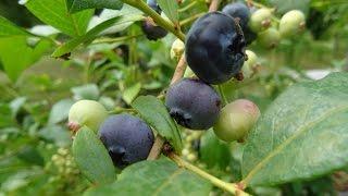 Blaubeeren und Cranberrys einfach genial anbauen und mächtig ernten