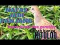 Emang Ampuh Gurah Burung Perkutut Suara Lebih Plong Nafas Lebih Panjang   Mp3 - Mp4 Download